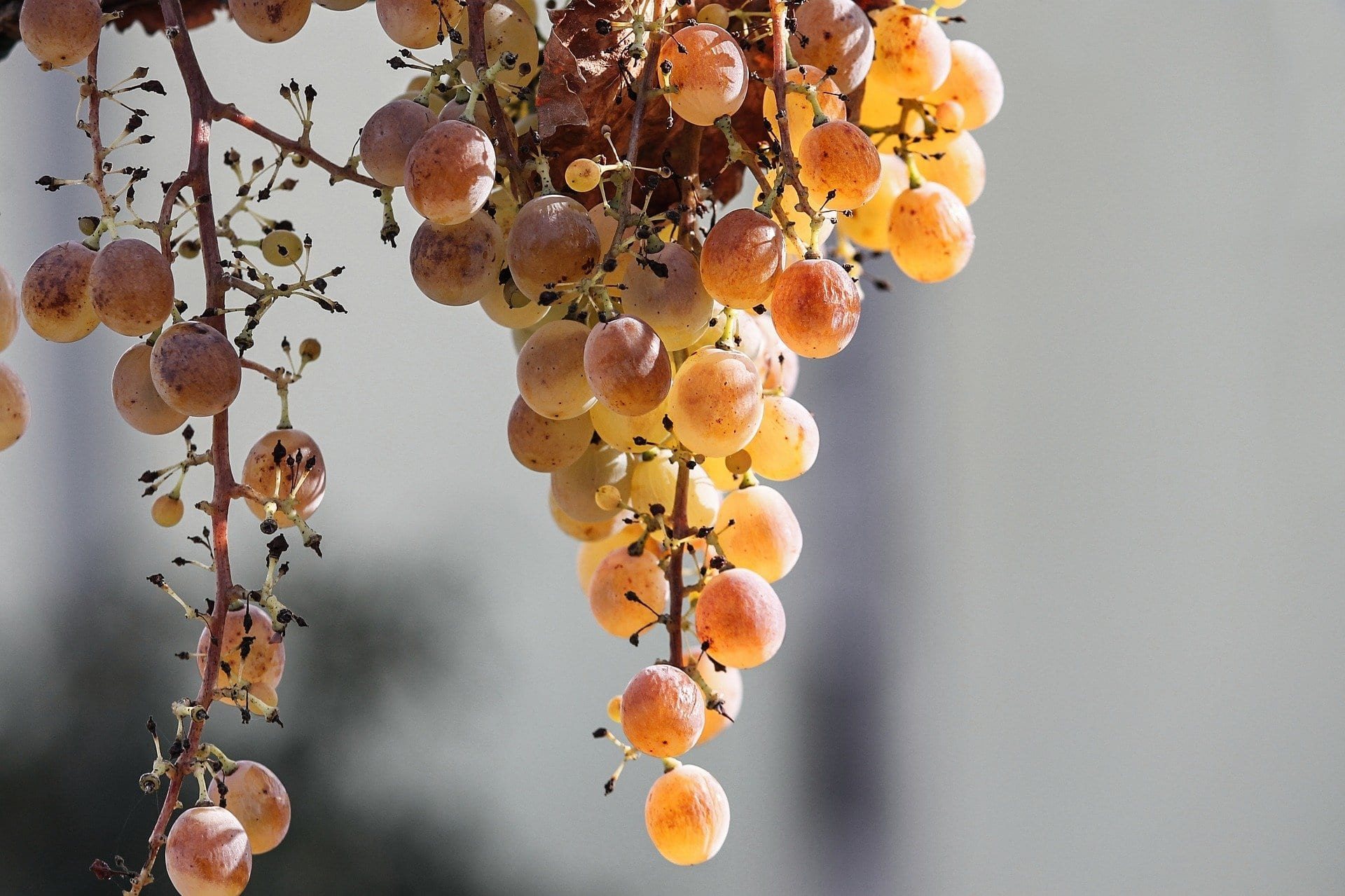 Golden Grapes