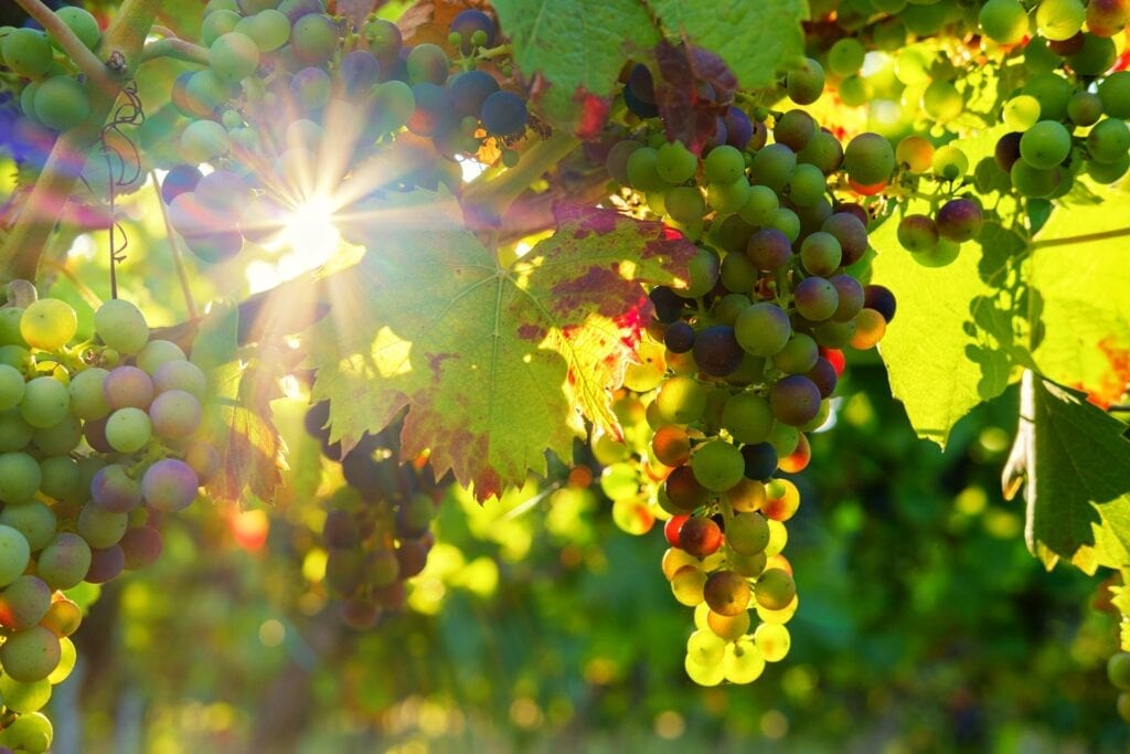 Grapes, Sunshine Vineyard