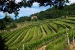 Vineyard in Friuli, Italy