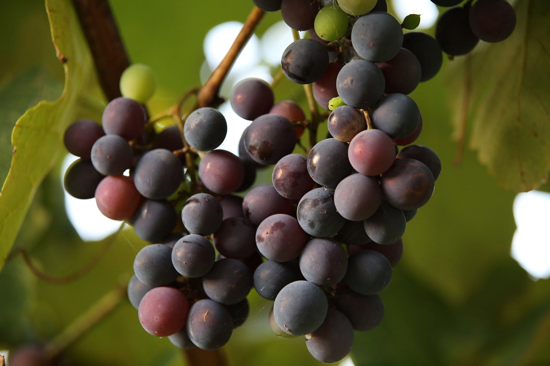 grapes up close