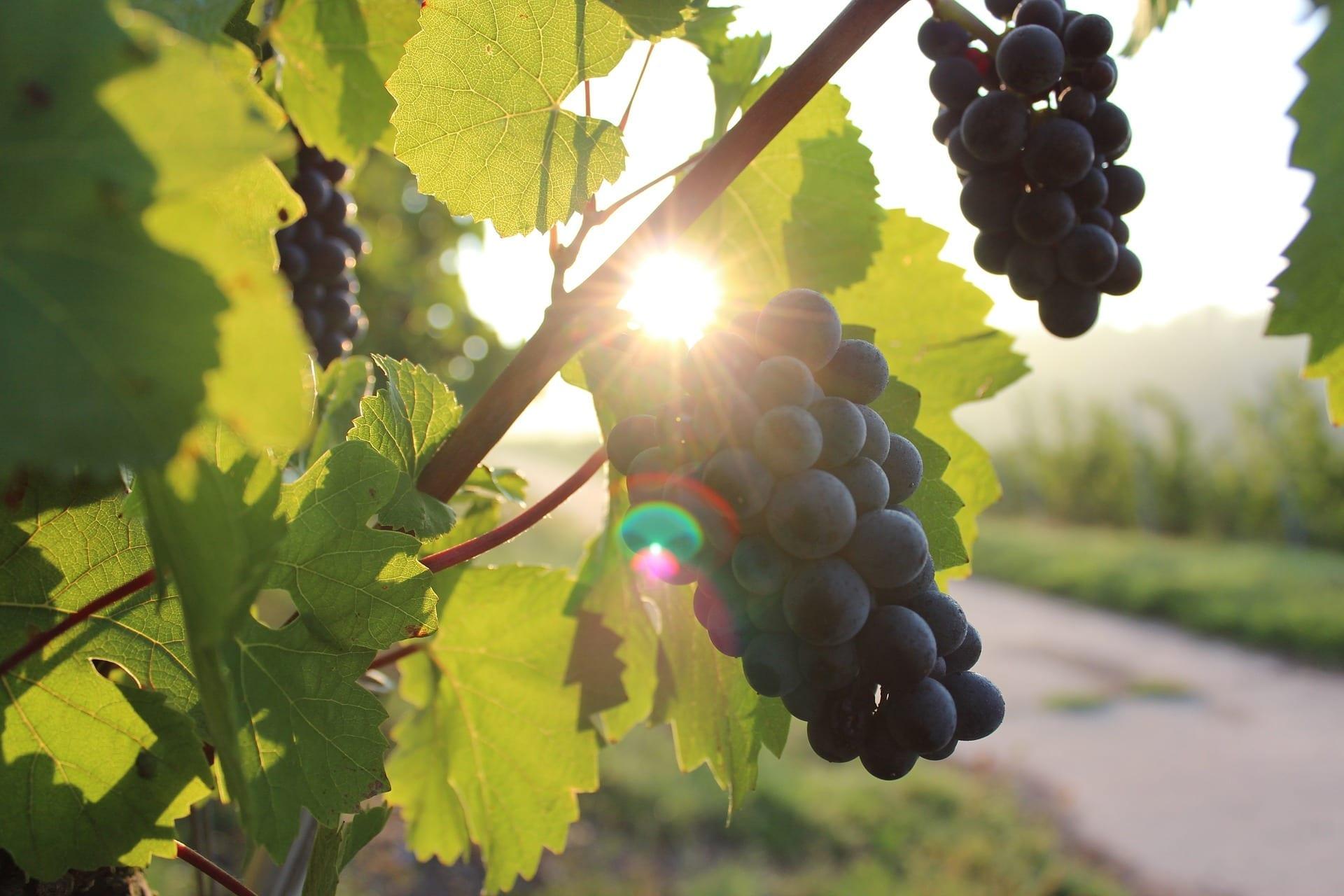 Grapes, vineyard, sunset