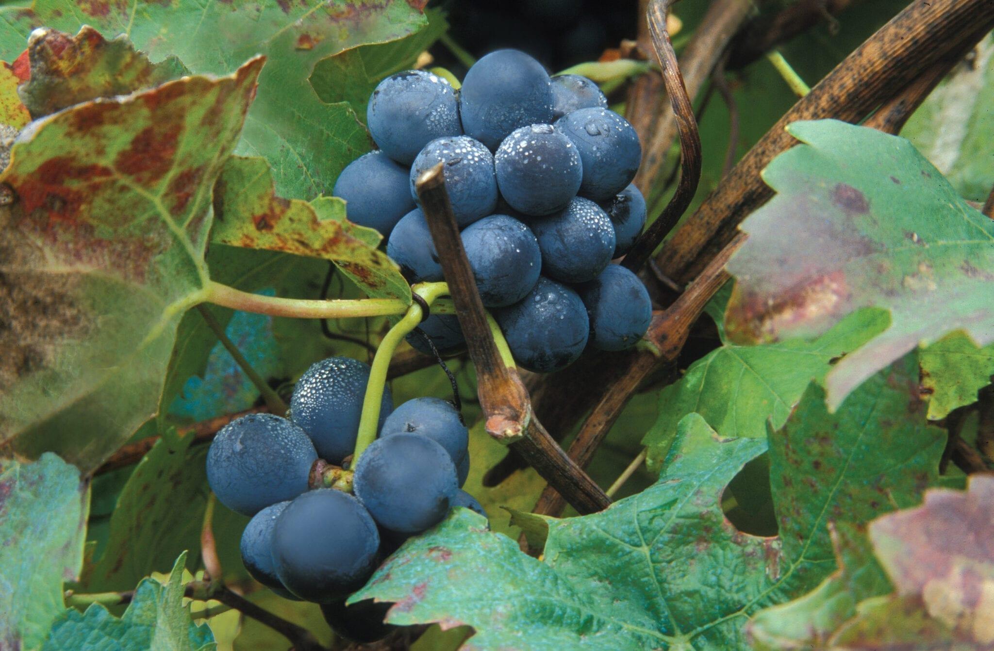 Barolo Grapes Michele Chiarlo