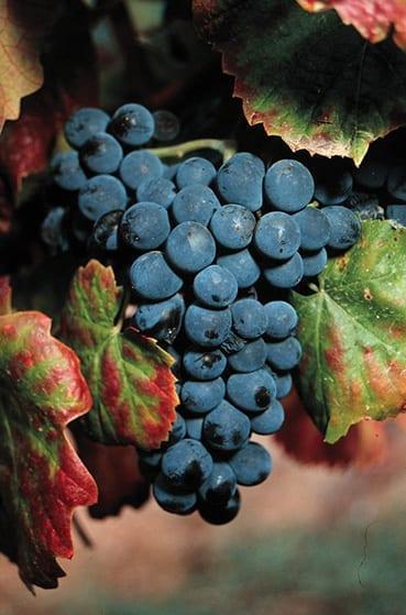 Touriga Francesca grape bunch, Portugal, Port wine