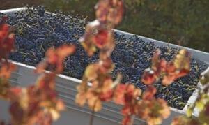 St. Francis winery, grapes, harvest, vineyard